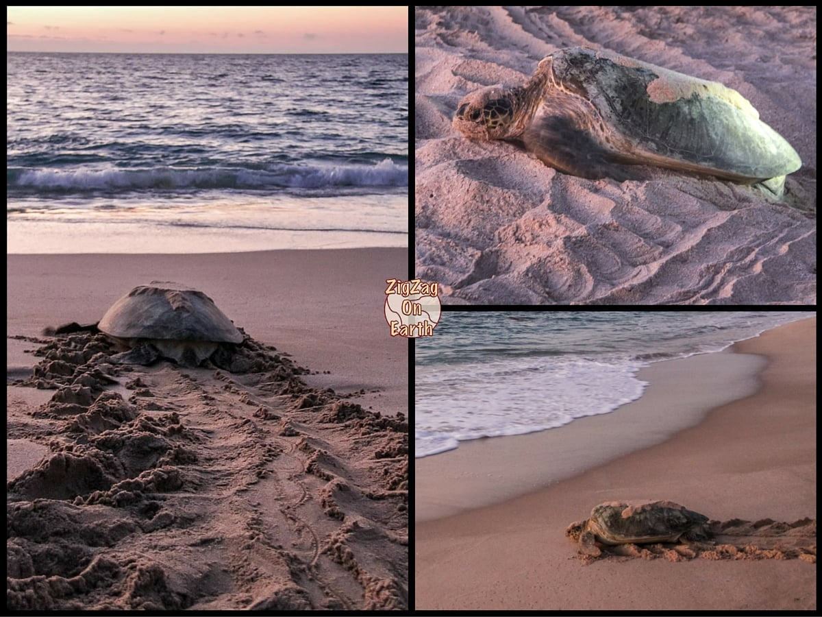 Top thing to do in Oman - Observe turtles at Ras Al Jinz Reserve
